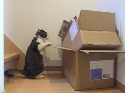 階段に無造作に置かれた段ボール箱の中を後ろ足二足で立ち上がり覗きこむ猫-ゆきお