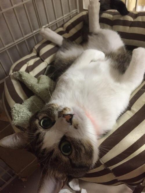 寝床で仰向けで見つめてくる猫-ゆきお