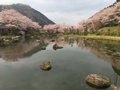 本谷公園の親水広場の池と満開の桜