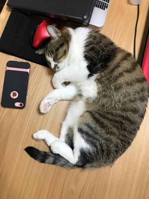 2018年の新年早々にこたつテーブルの上で可愛らしく眠る猫-ゆきお