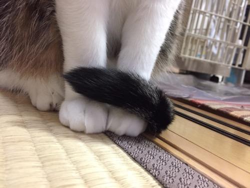 両前足に尻尾をくるんと巻きつける猫-ゆきお(前足部分のみのクローズアップ写真)