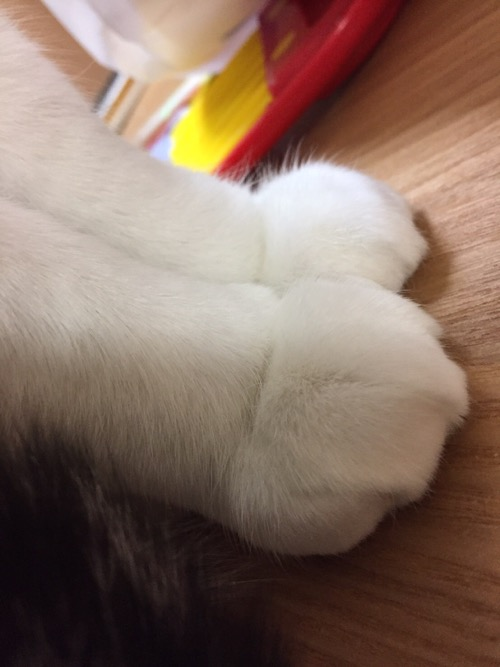 モッフモフな白い前足2本を綺麗にそろえた猫-ゆきお