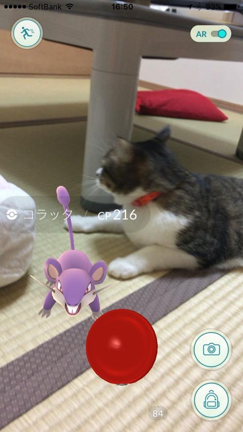 ポケモンGOのコラッタには目もくれない猫-ゆきお