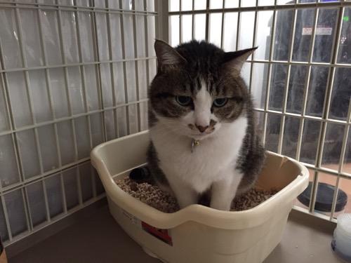 猫用トイレでうんこをする猫-ゆきお