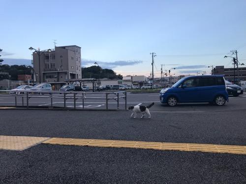 JR袖ケ浦駅前を悠々と歩く猫