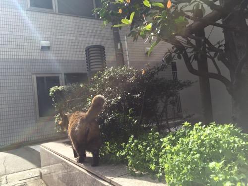 ビル前の植木の花壇でお尻を見せながら歩き去る茶色の野良猫-東京都港区新橋6丁目