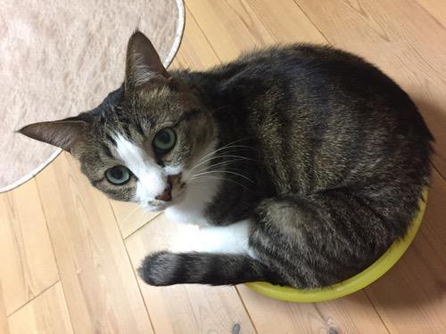関東版ケロリンの洗面器の中に座る猫-ゆきおを上から眺めた時の様子