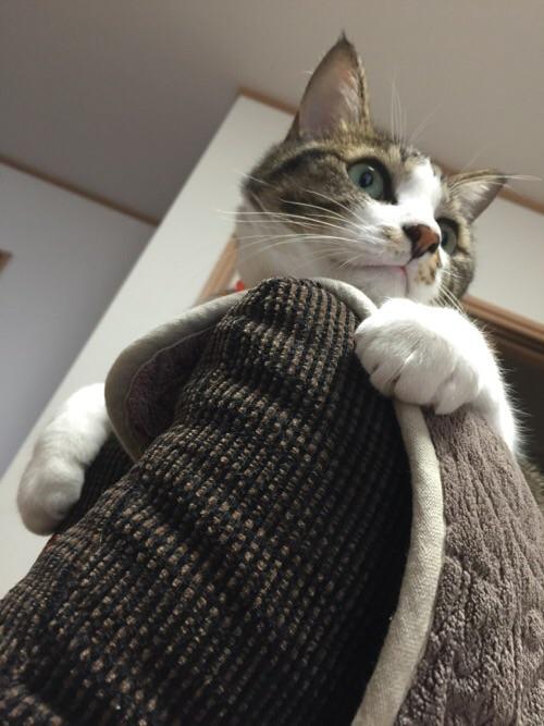 ソファーの背もたれの上でくつろぐ猫ーゆきお(正面下より)