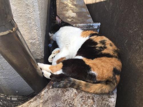 お昼の陽射しの中で雨どいに後脚をのせて眠る桜田公園の白茶黒の猫