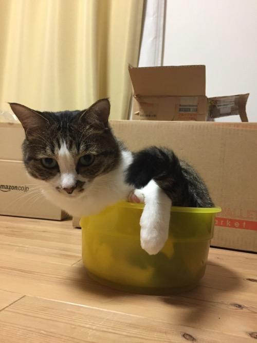 関東版ケロリンの洗面器の中から洗面器のフチに脚をかける猫-ゆきお