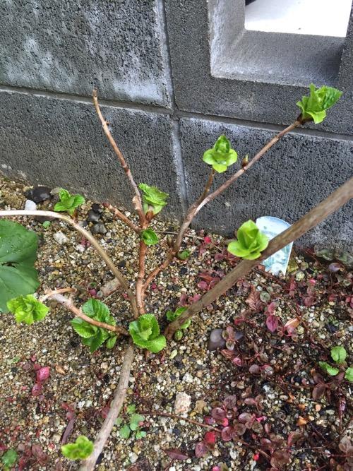 新芽が増えたアジサイ