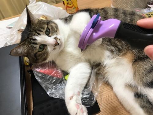 高級猫ブラシ ファーミネーターを前足で拒むようにしてしかめっ面をしている猫-ゆきお