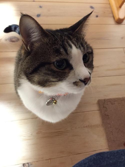 テーブルの下から物欲しそうな目で見てくる猫-ゆきお(顔のアップ)