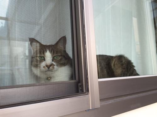 一階リビングのガラス戸から外を眺める猫-ゆきお