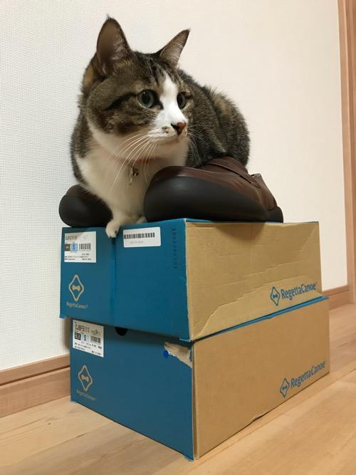 リゲッタカヌーの箱の上に置いた靴の間に座る猫-ゆきお