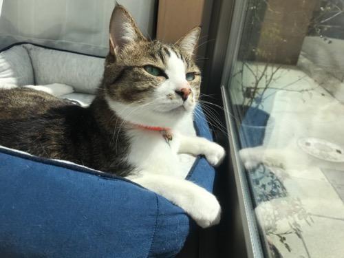 窓際の猫ベッドに前脚をかけて堂々としている猫-ゆきお