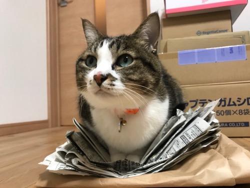 新聞紙をVの字に折り曲げて座るフワフワな白い胸毛がキュートすぎる猫-ゆきお