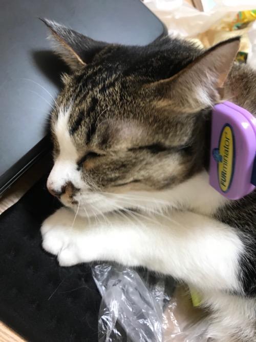 高級猫ブラシ ファーミネーターで耳の下をブラッシングしてもらって気持ちよさそうにしている猫-ゆきお