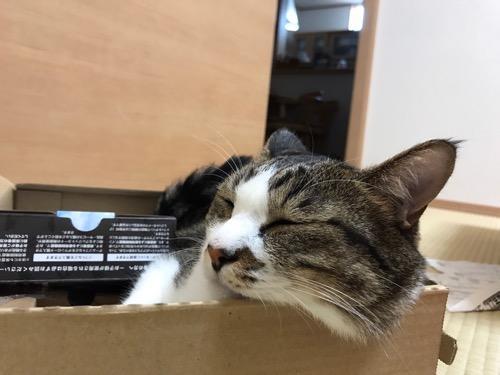 ドラクエ11と2DSのセット箱で窮屈そうなamazonの箱の中で眠る猫-ゆきお
