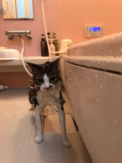 お風呂場で石鹸まみれの猫-ゆきお