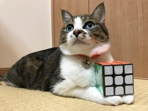 「スピードキューブ QOOH 競技専用ver.2.0 世界基準配色」を両前脚に乗せる猫-ゆきお