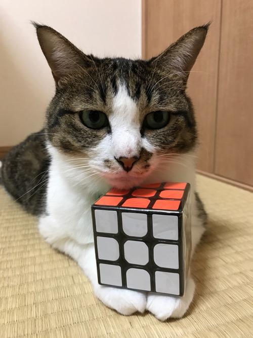 「スピードキューブ QOOH 競技専用ver.2.0 世界基準配色」を両前脚と顎の間に挟む猫-ゆきお