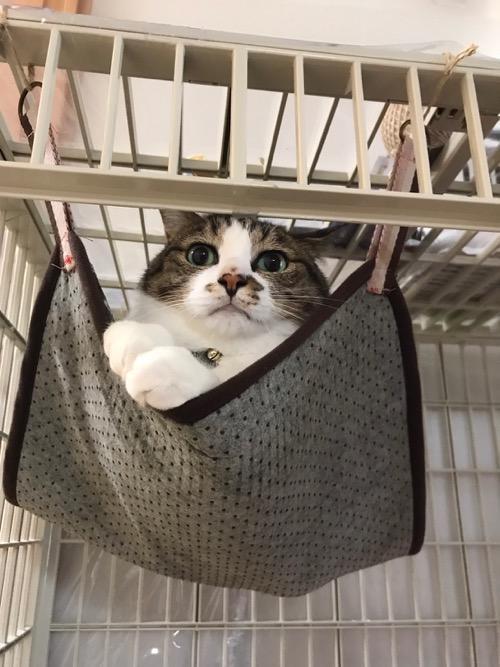 100円ショップ・ダイソーの商品で妻が自作した猫用ハンモックに入れられて両前脚をそろえて突き出す猫-ゆきお