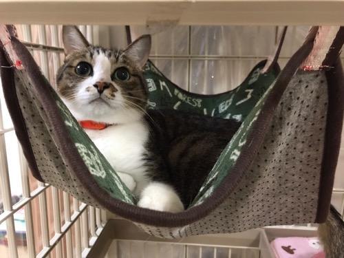 100円ショップ・ダイソーの商品で妻が自作した猫用ハンモックに入れられてまんざらでもなさそうに座り込む猫-ゆきお