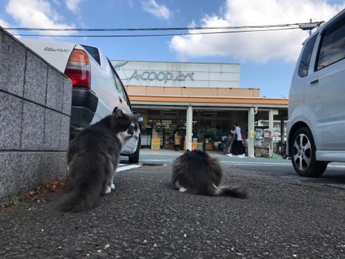 Aコープとべ店を眺める野良猫に近づきながらこちらを振り返る野良猫