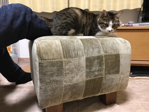 嶝野家具店のスツールの上に右足を乗せる私の足の上に座る猫-ゆきおを横から見た時の様子