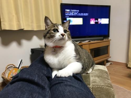 嶝野家具店のスツールの上に両足を乗せる私の足の上に座る猫-ゆきお