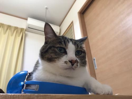 ドラゴンクエスト スライムヘッドフォンのバンド部分にふわふわな白い胸毛を押し付けて見つめてくる猫-ゆきお