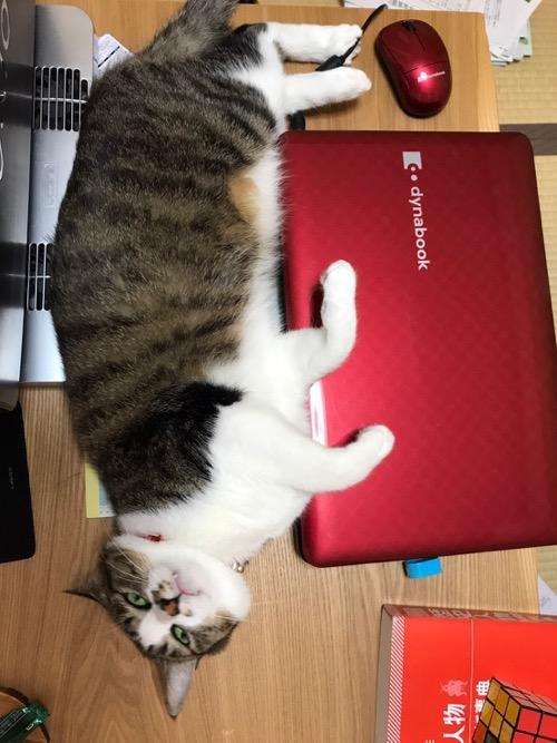 横になって赤いdynabookに手を乗せてギョロっと見つめてくる猫-ゆきお