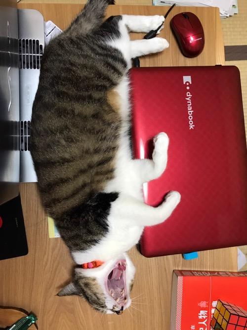 横になって赤いdynabookに手を乗せて大あくびする猫-ゆきお
