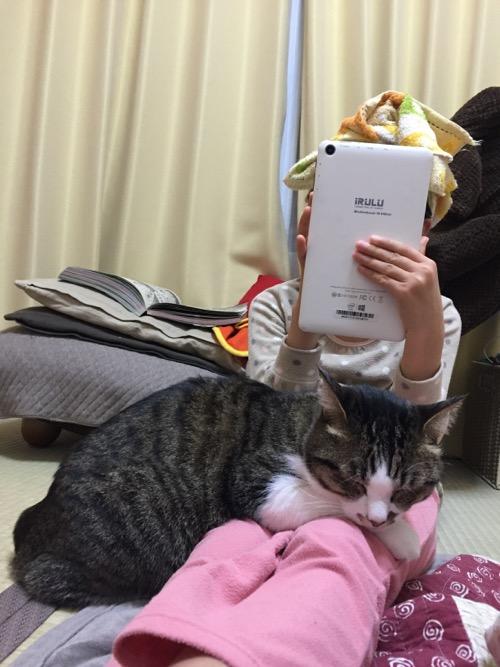 Windowsタブレットで遊ぶ娘の膝に乗って眠る猫-ゆきお