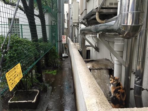 雨の中こちらを振り向いてニャーと鳴く猫-桜田公園にて