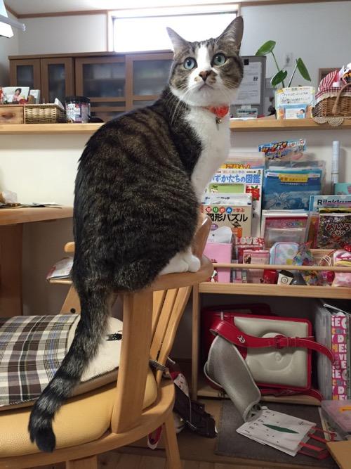 ダイニングテーブルの椅子の肘掛に背伸びしながら座る猫-ゆきお