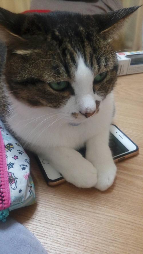 iPhone 6の液晶画面の上に両前脚をのせる猫-ゆきお