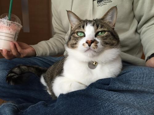 スターバックスのさくら ブロッサム & ストロベリー フラペチーノを手で持つ飼い主の膝の上に座る猫-ゆきお