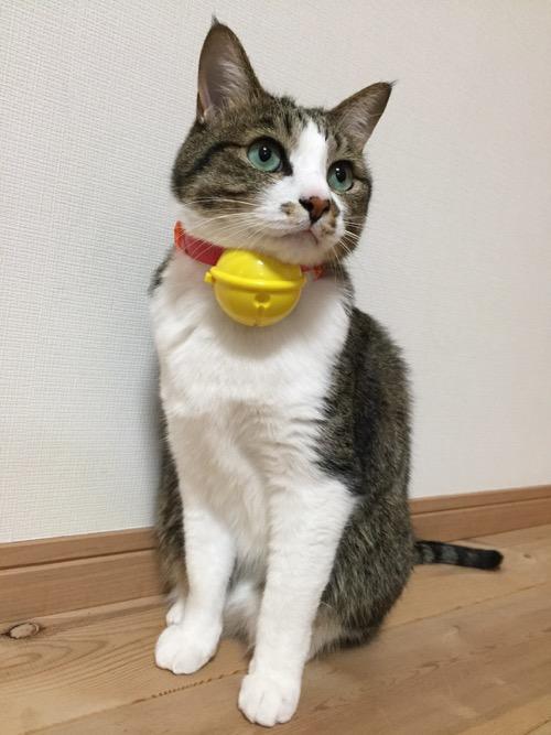 マクドナルドのおもちゃ「鳴るよ!ドラえもんの鈴」を猫-ゆきおの首に装着した時の様子