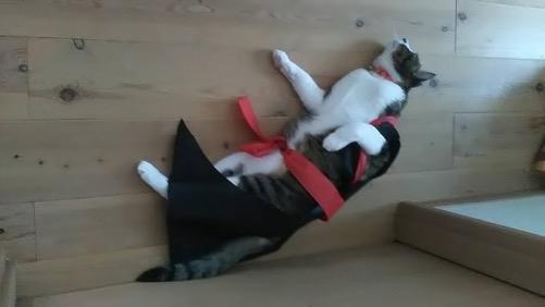 運動会の服を改造した猫用の服を着せられて寝転がる猫-ゆきお