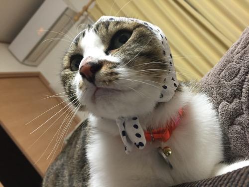 かわいい かわいい ねこ泥棒の「豆絞り/あお」を頭に被り「何にゃりか?」と挑発的な猫-ゆきお