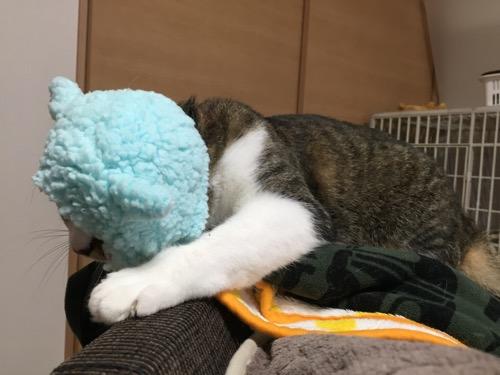 かわいいかわいいねこひつじ(ブルー)を被って顔がほとんど隠れた猫-ゆきお