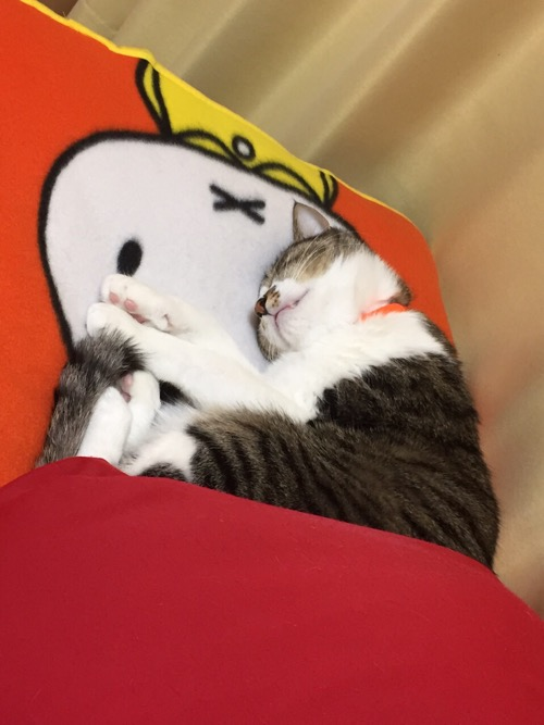ミッフィーのブランケットの上でスヤスヤと眠る猫-ゆきお