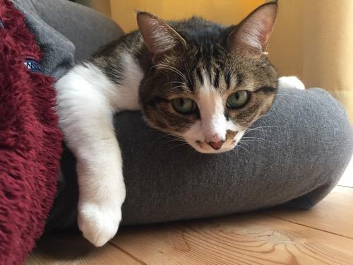 飼い主の右足の上で前足を垂らす猫-ゆきお