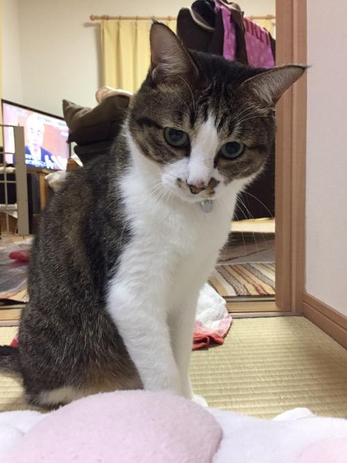 スヌーピーの肉球クッションの背後で獲物を眺める猫-ゆきお