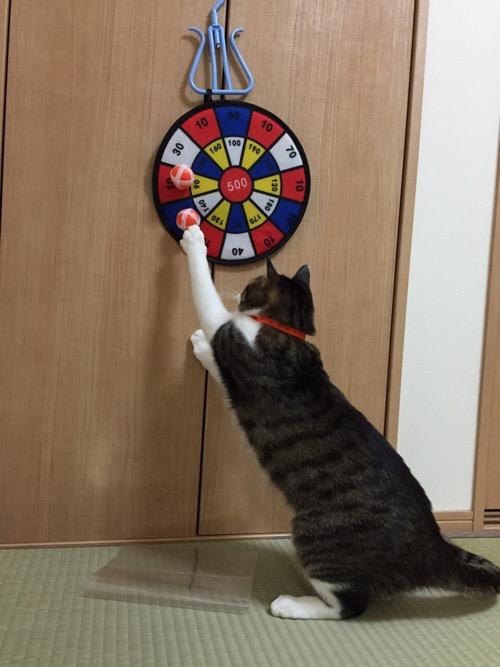 100円ショップダイソーのおもちゃ「ボールでダーツ」のボールで遊ぶ猫-ゆきお