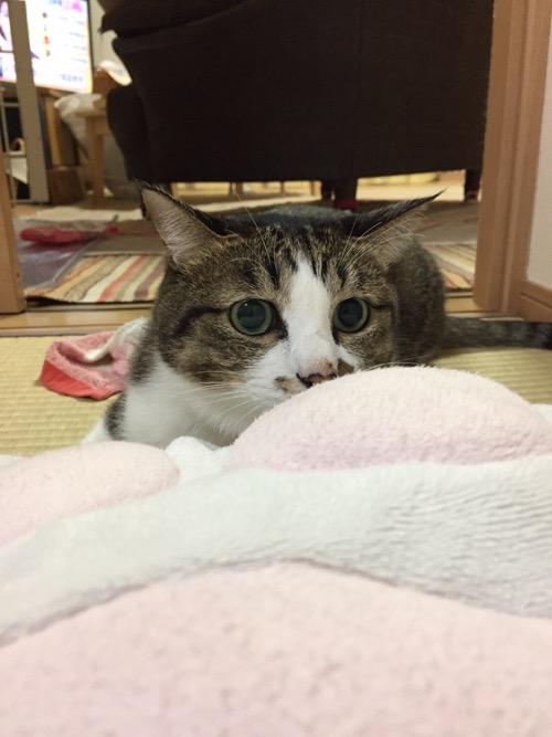 スヌーピーの肉球クッションの背後で獲物を狙う瞳の猫-ゆきお