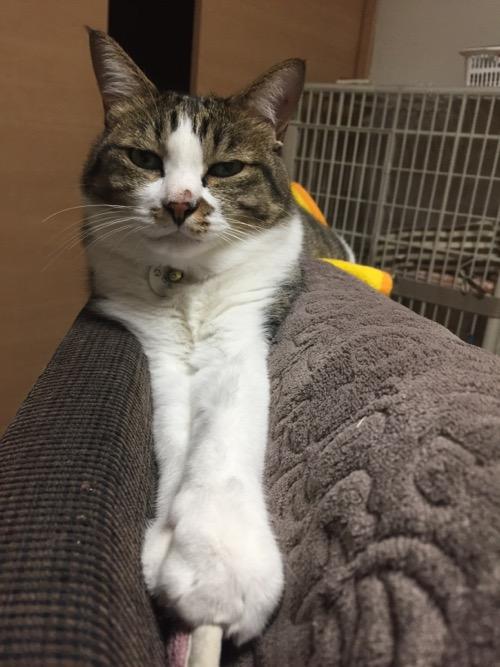 かわいい かわいい ねこ泥棒の「豆絞り/あお」を脱いだ後、両前脚をきゅーっと前に伸ばして体を伸ばす猫-ゆきお