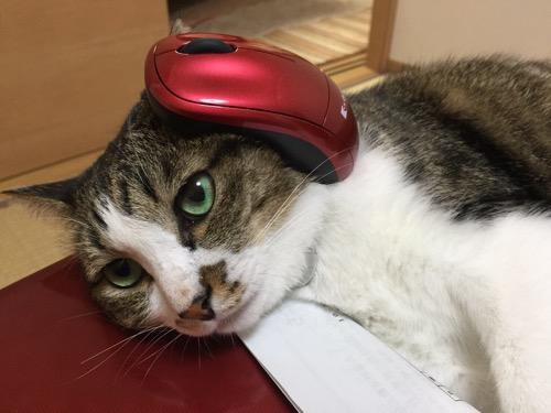 赤い東芝ノートパソコンに頭を乗せ、赤いマウスを左耳に乗せる猫-ゆきお